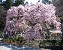 樹齢200年の桜
