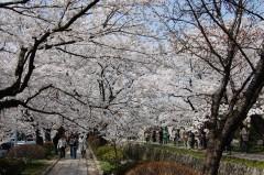 哲学の道(桜)