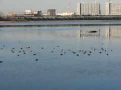 干潟に飛来した鴨乃群れ