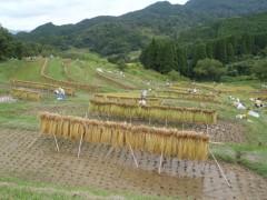 稲掛け(乾燥)